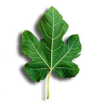 Fig leaf 1
