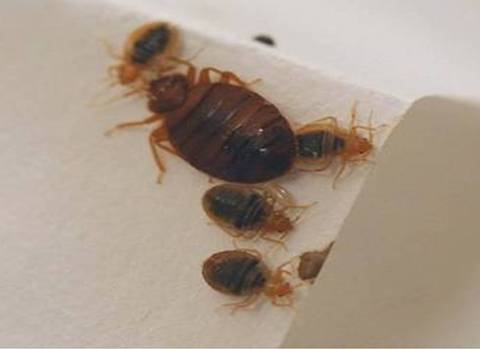 Bed Bugs. Chuck Newton  Bed Bug Law Niche
